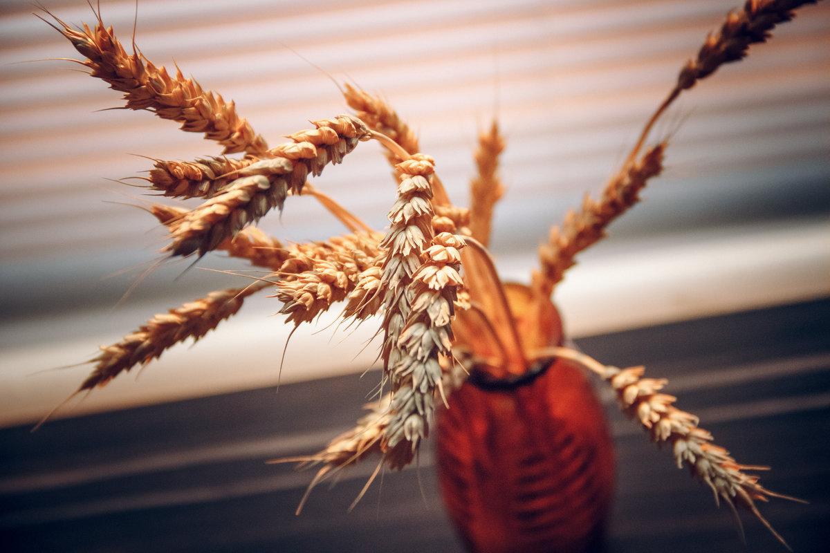 Пшеница - Оксана