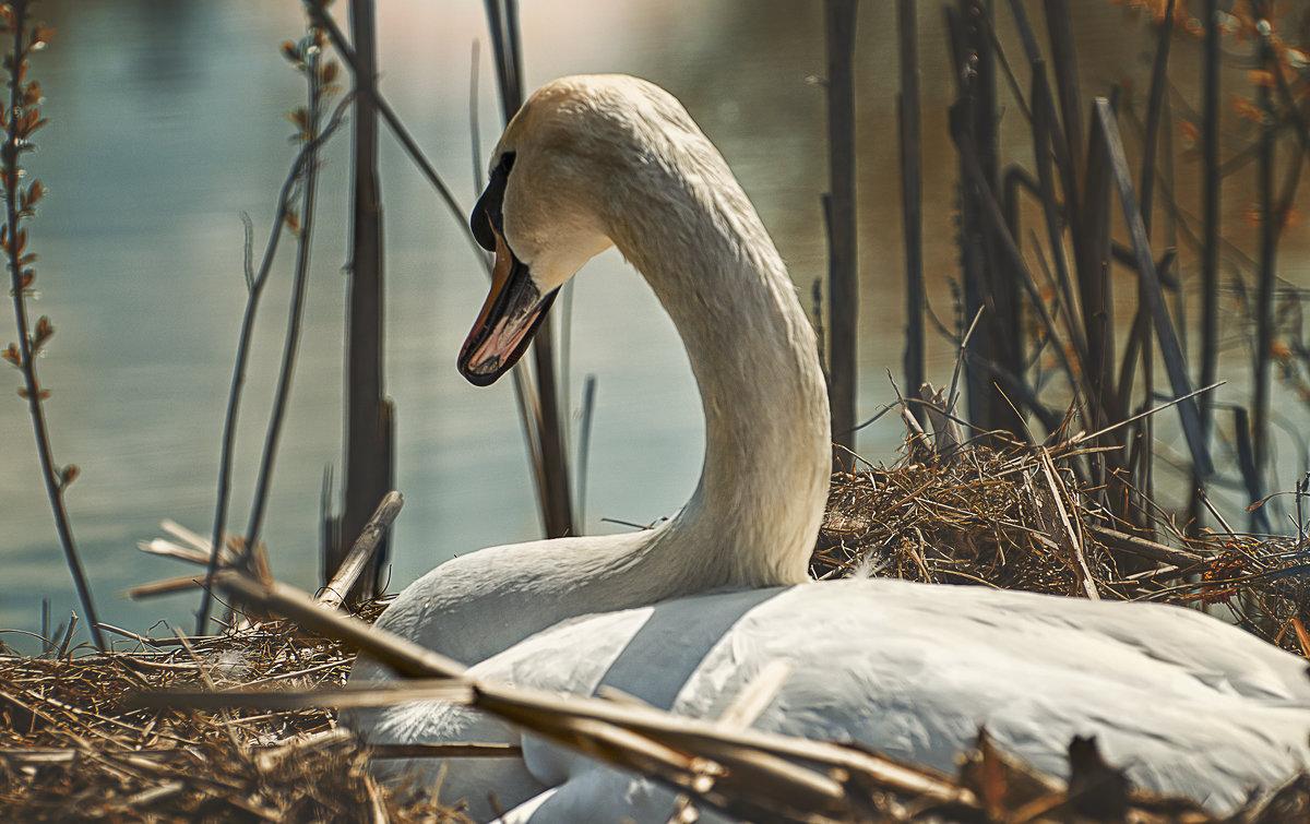 Лебедь в гнезде. - Лилия .