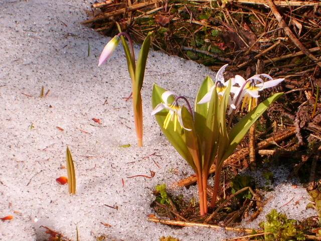 цветы из под снега - vladimir polovnikov