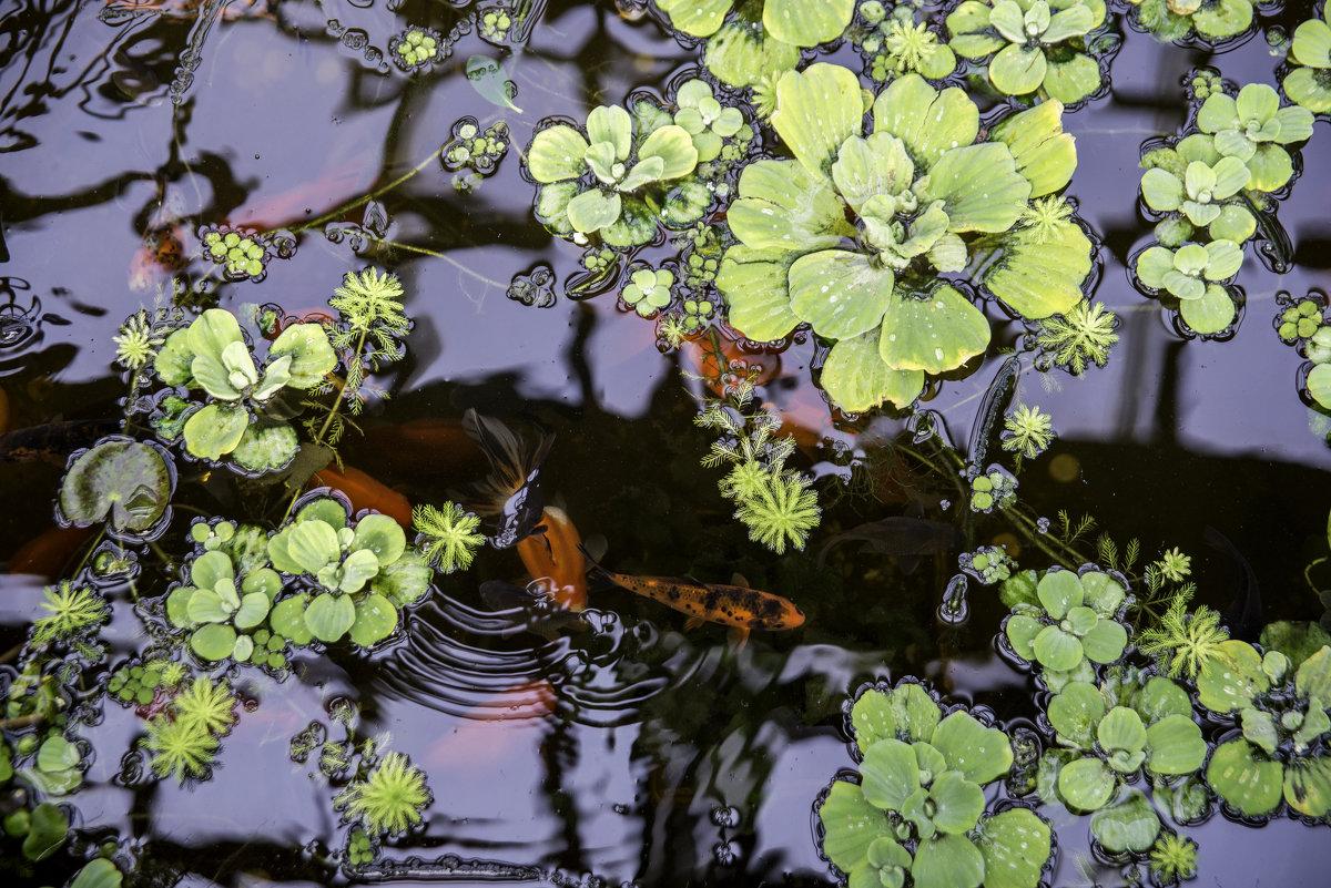 Рыбки в пруду - Дмитрий