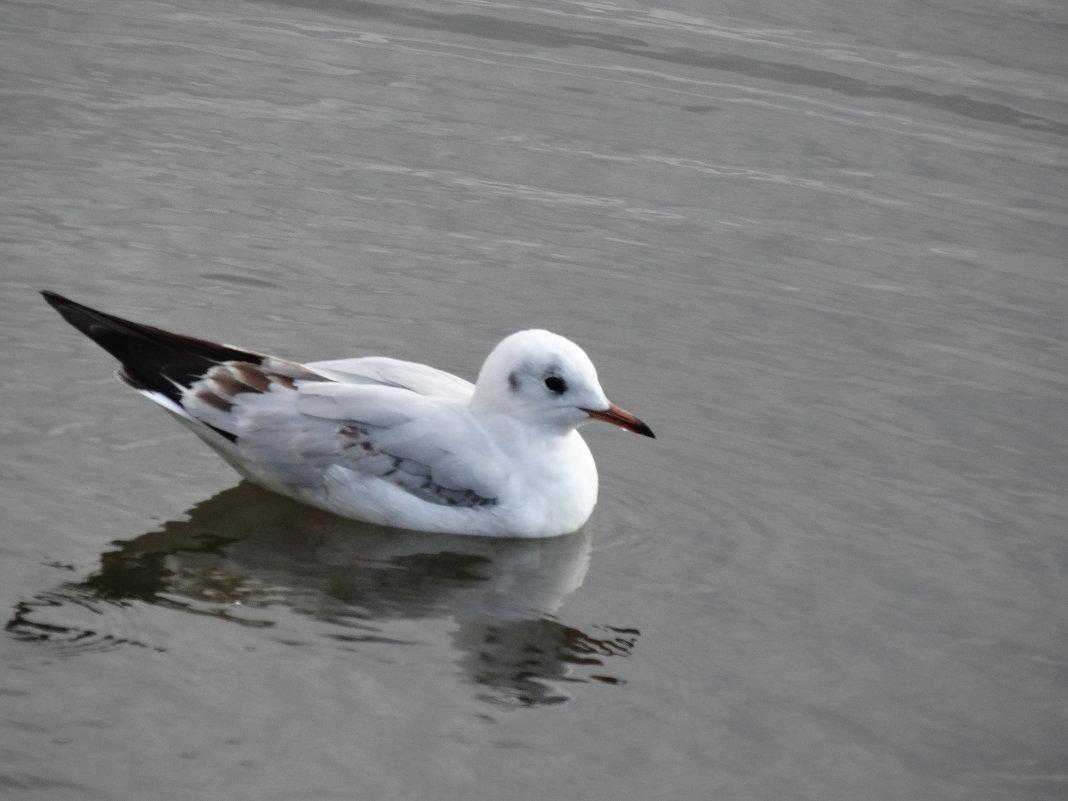 Чайка на воде... - Тамара (st.tamara)