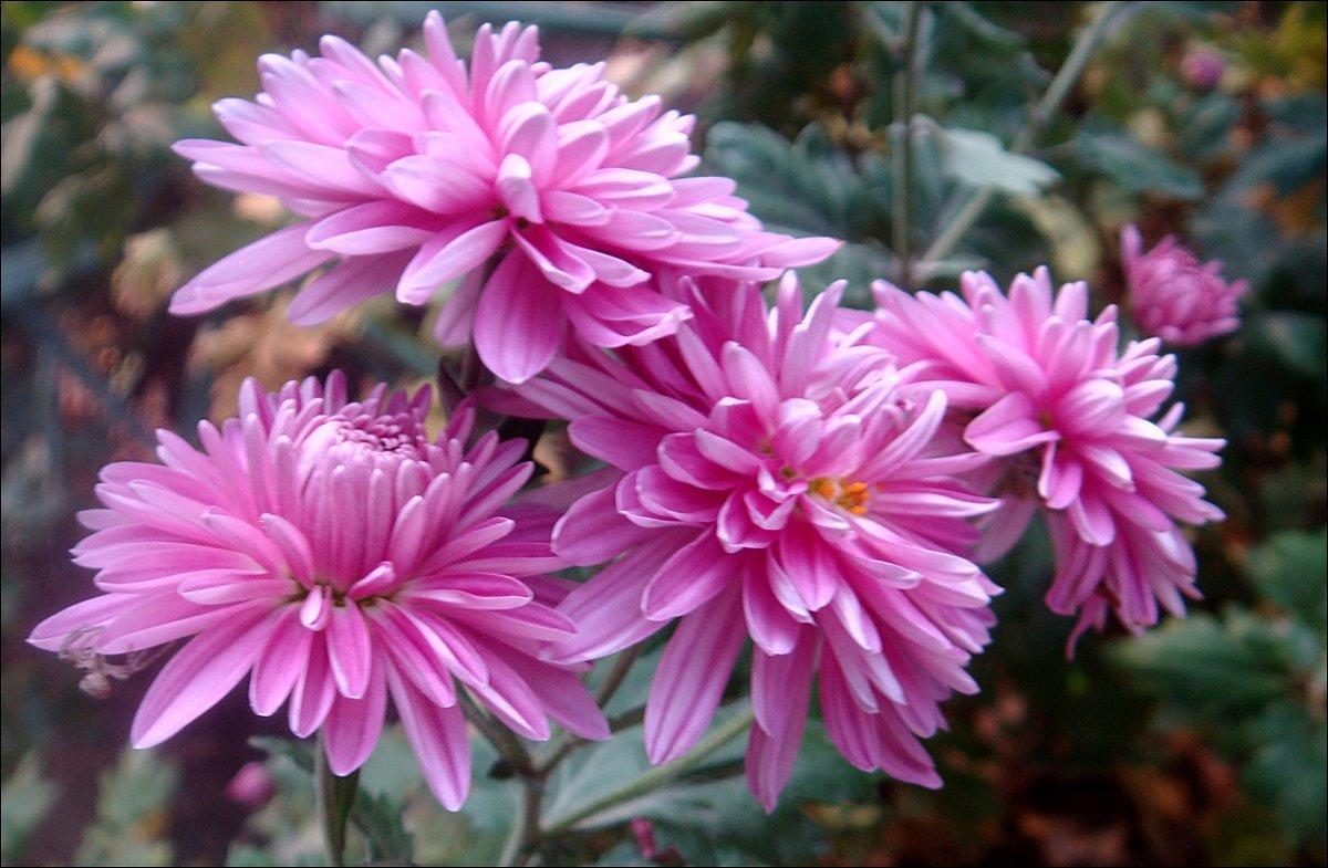 Сиреневые хризантемы - Нина Корешкова