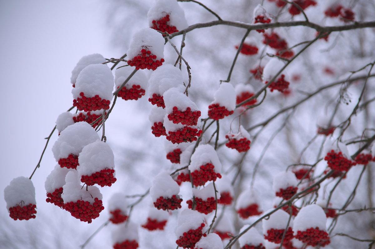 Рябины гроздья алые.... - Tatyana Nemchinova