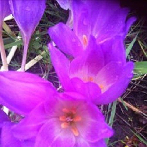 красивы цветок - IRINA
