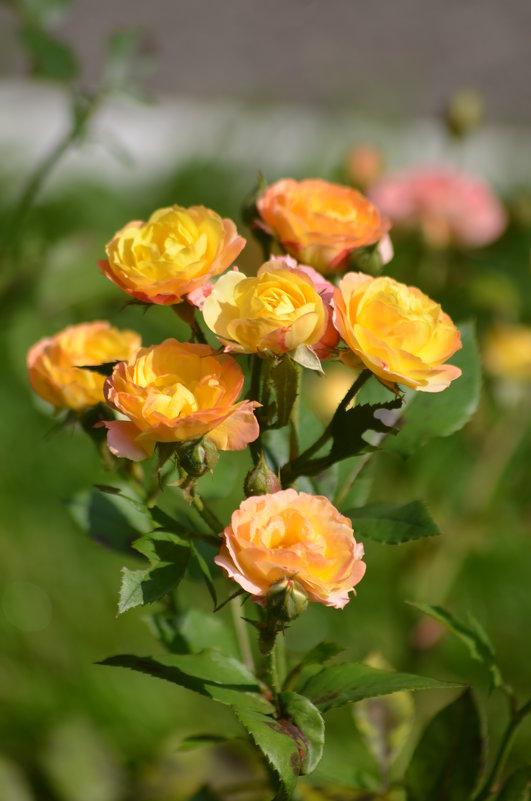 жёлтые розы - Константин Трапезников