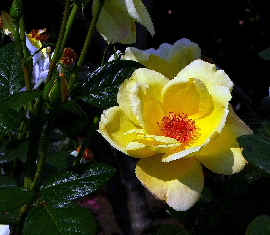 Желтая роза  из Михайловского Златоверхого монастыря г. Киев - Владимир Бровко