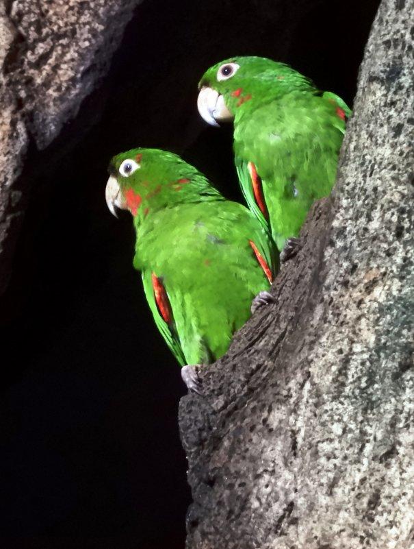 Любить — значит смотреть вместе в одном направлении. White-eared Parakeets - чудинова ольга