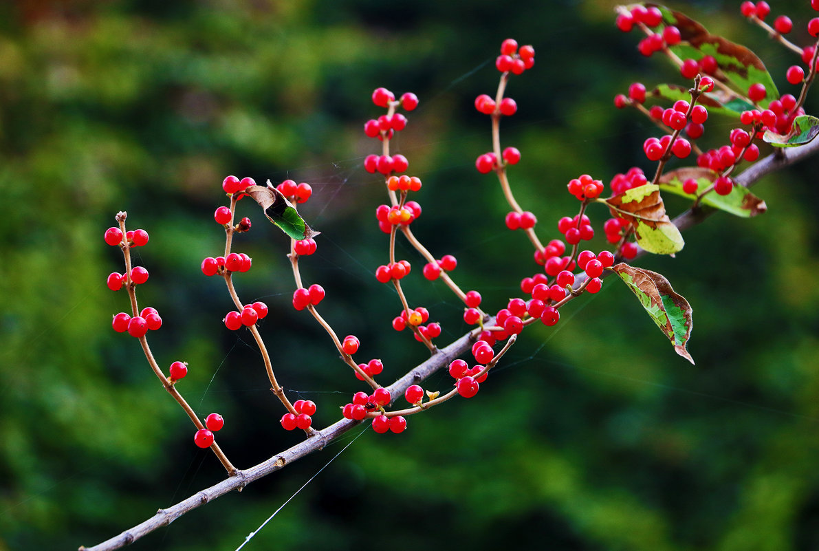 Осенние ягодки - Светлана