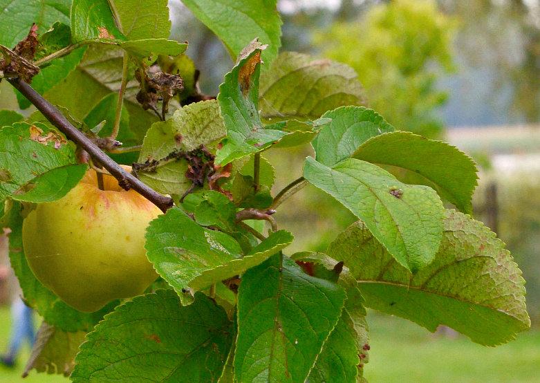 яблоко - Lanna
