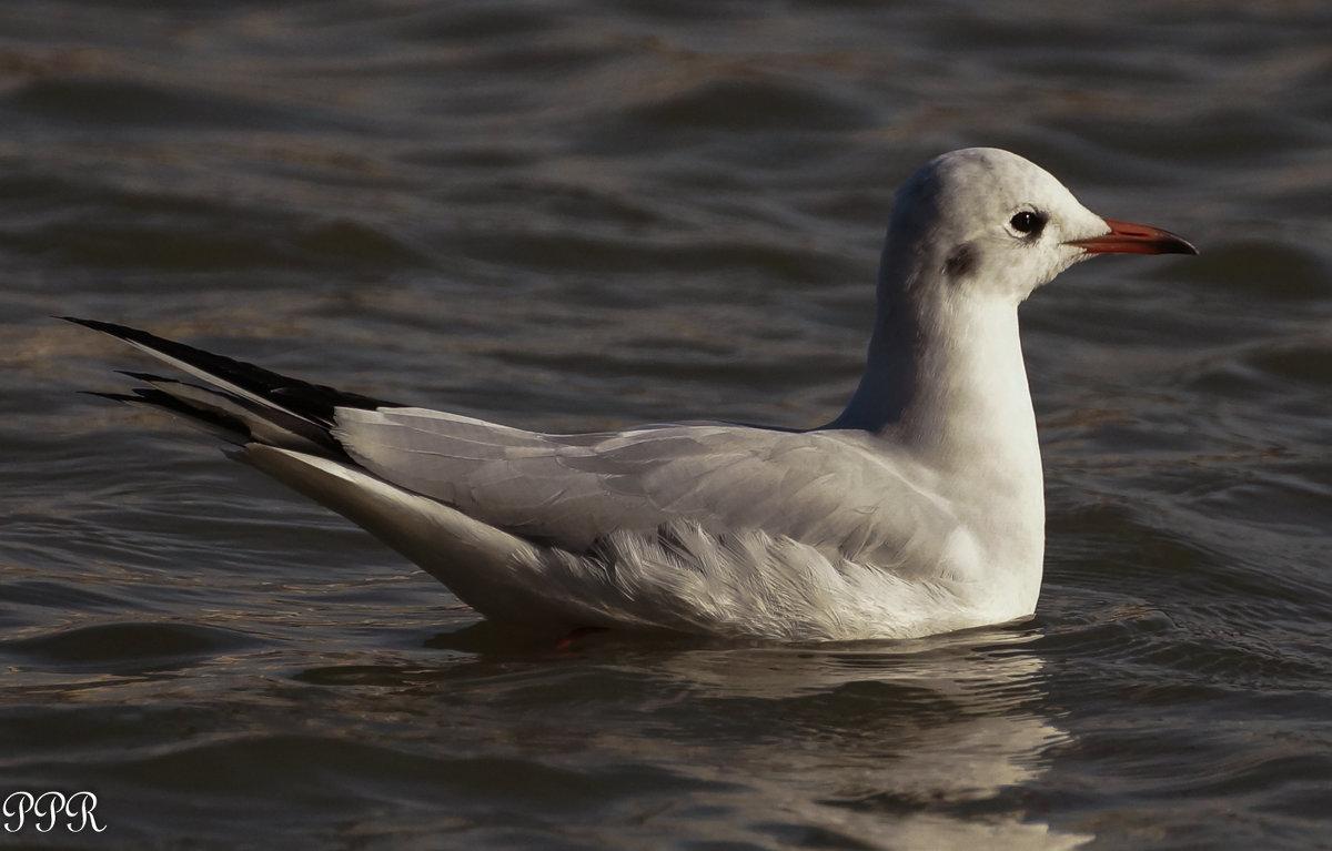 Села чайка на воду - Павел Руденко