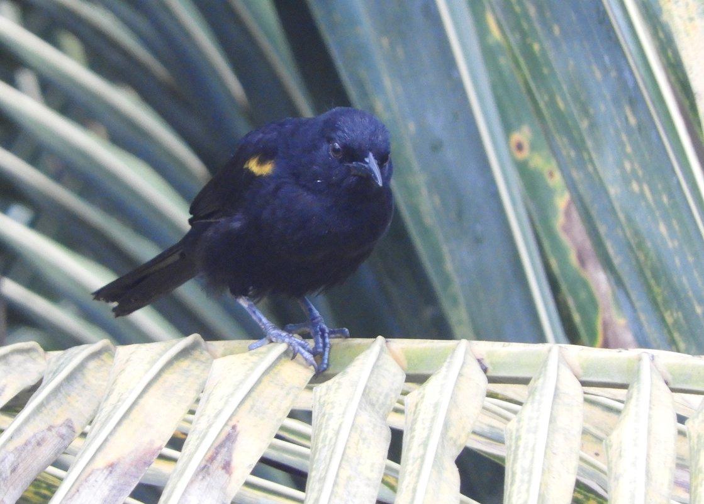 Yellow-winged blackbird - чудинова ольга
