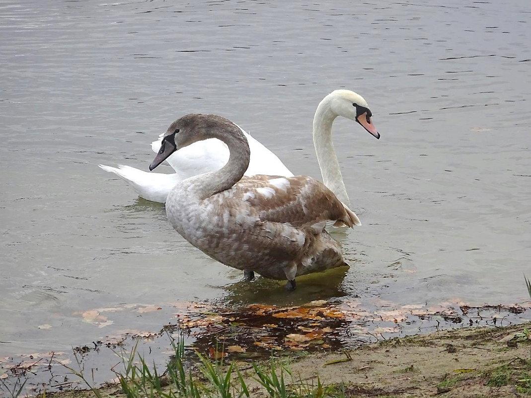 Два поколения лебедей - Маргарита Батырева