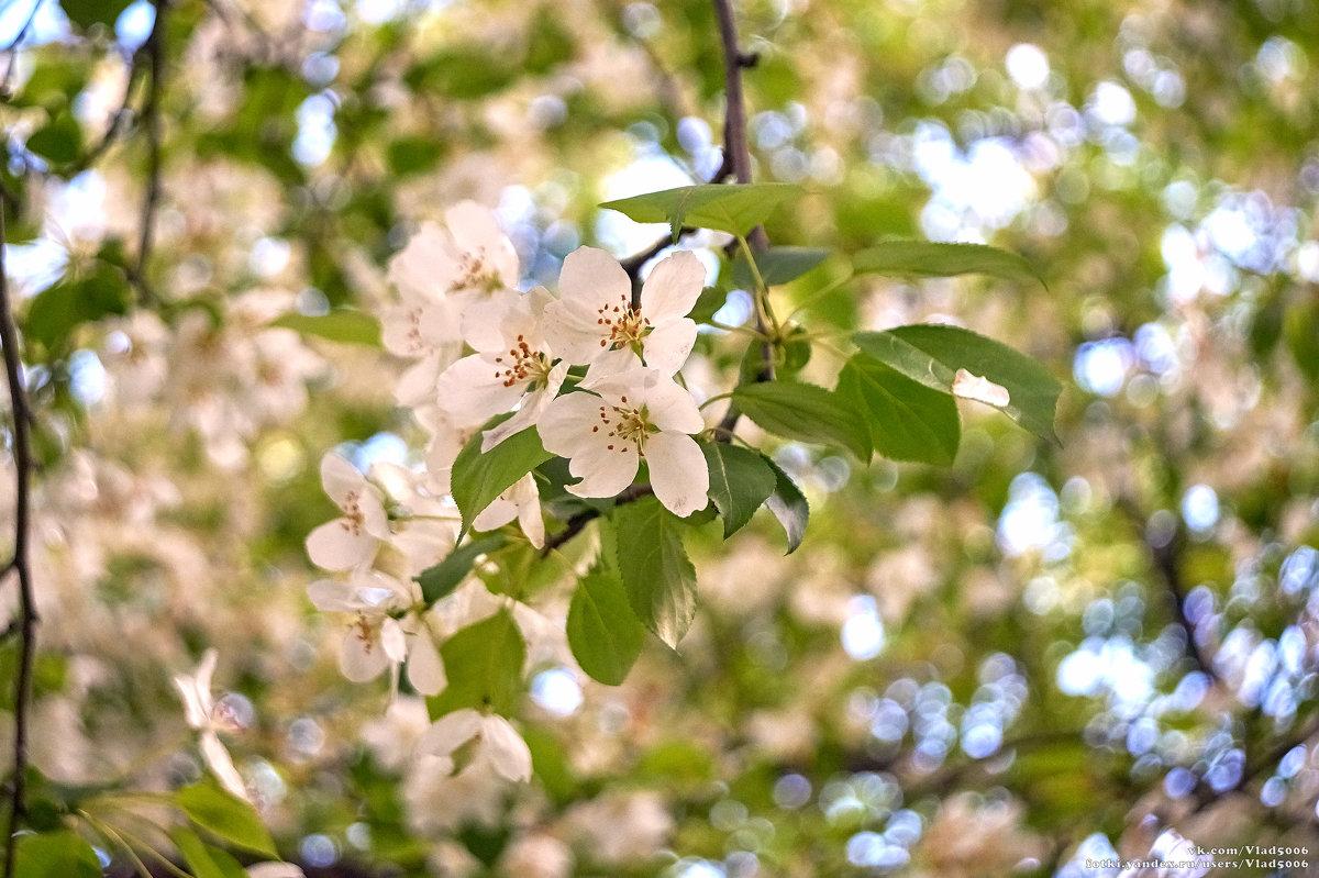 Цветущая яблоня - Владислав Левашов