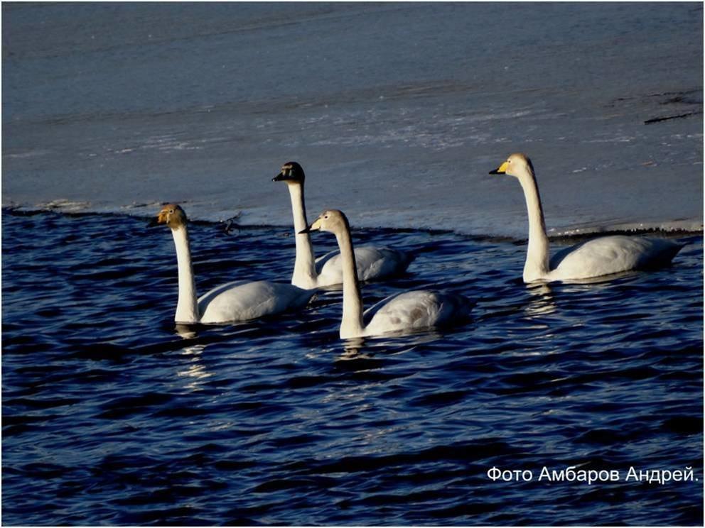 Лебеди - Андрей