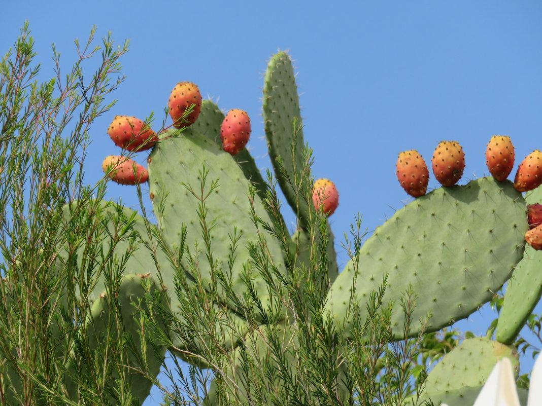 Цабры - плоды кактусов - Герович Лилия