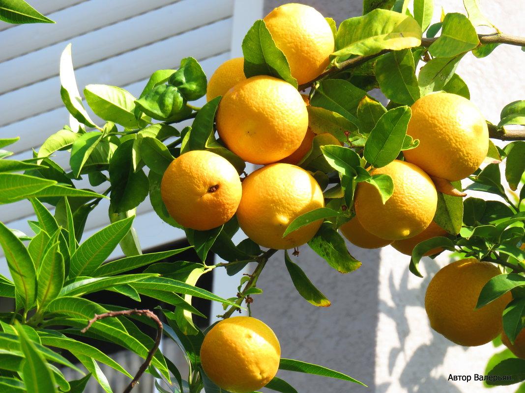 Апельсины - Валерьян Запорожченко