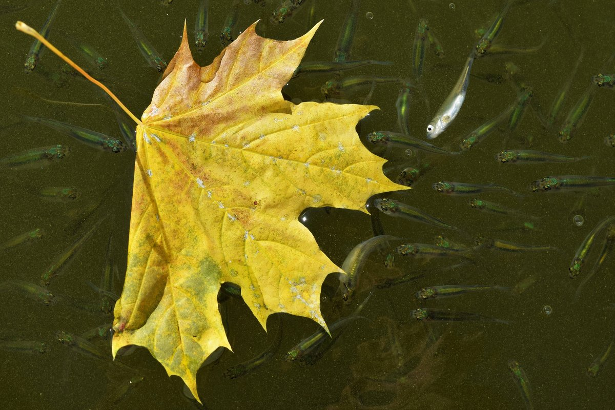 Осенний лист в окружении. - Татьяна Помогалова
