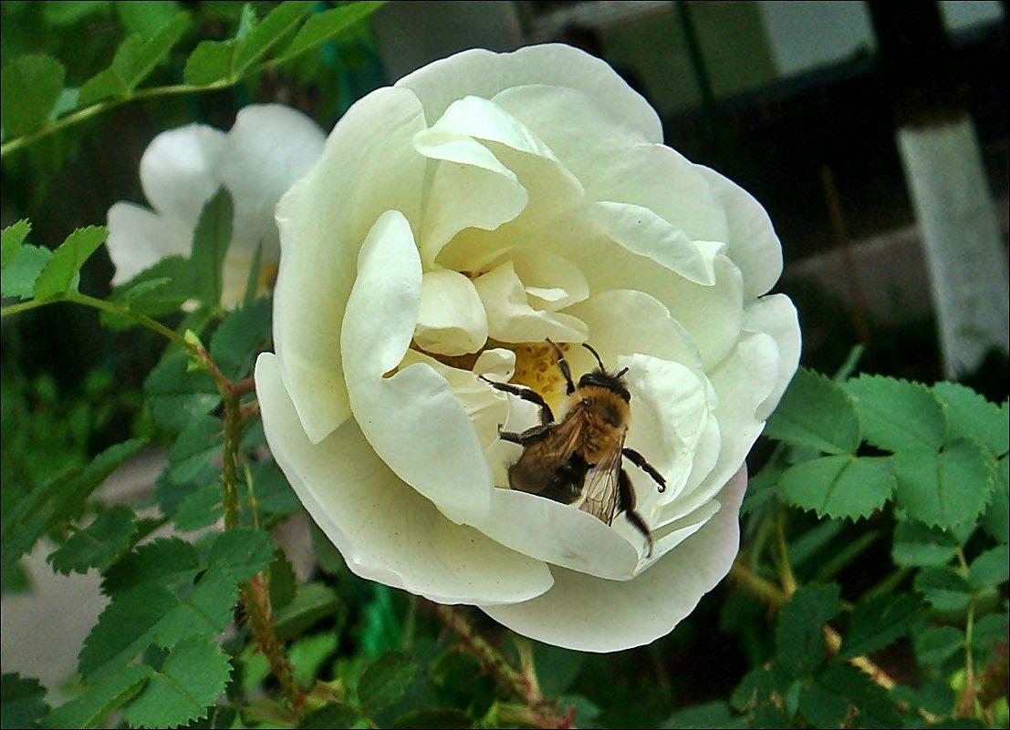 В белой розе - Нина Корешкова