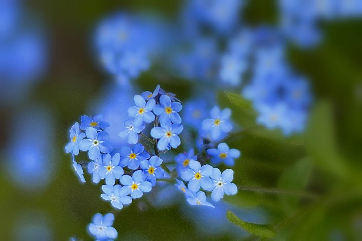 Голубые звёздочки - *ALISA* ( minck55 )