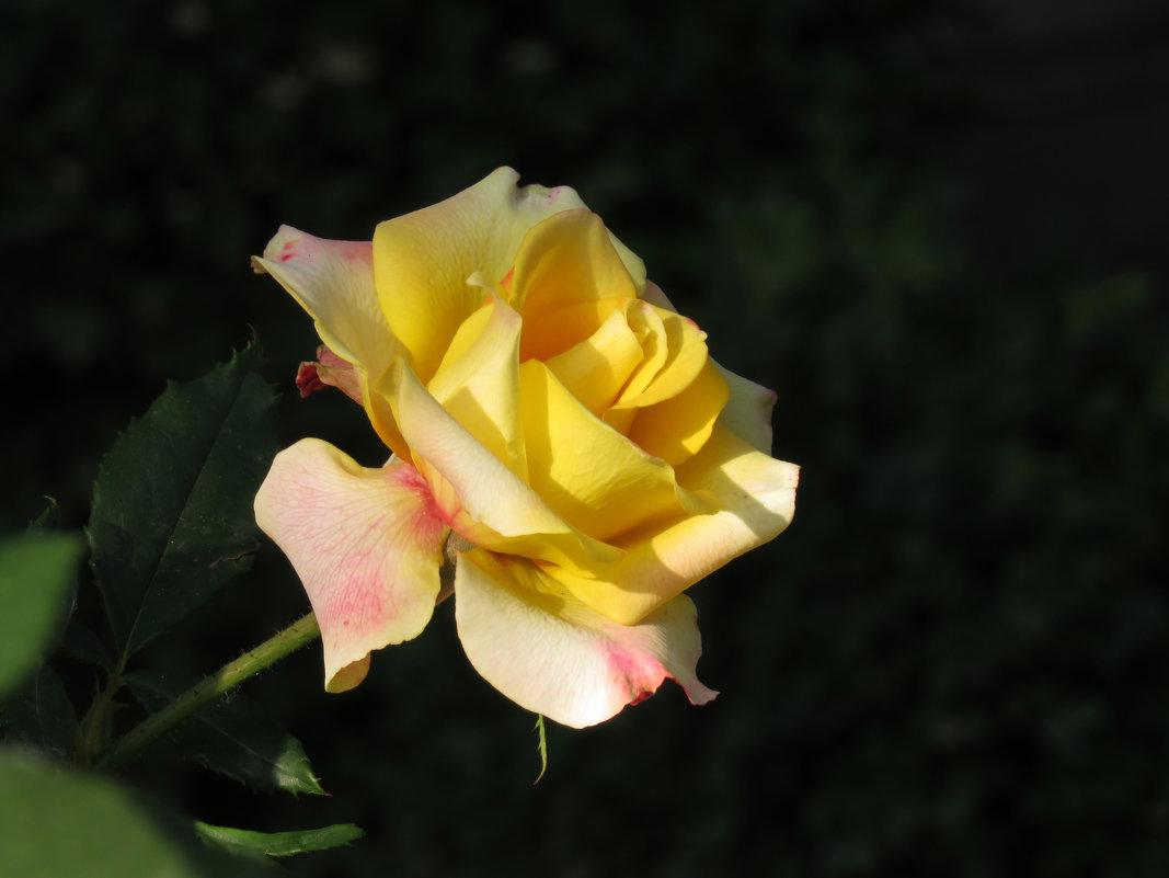 Желтая красота - Наталья (D.Nat@lia)