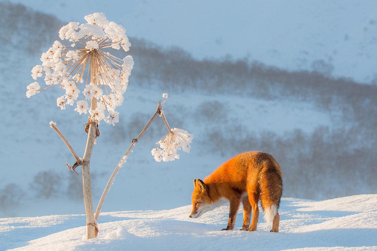 Снежный одуванчик - Денис Будьков