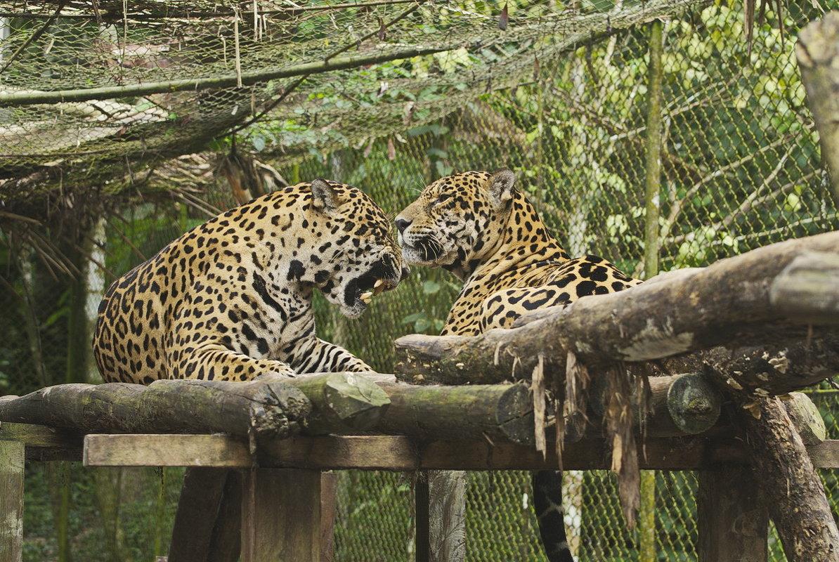 Леопард - Svetlana Plasentsiia