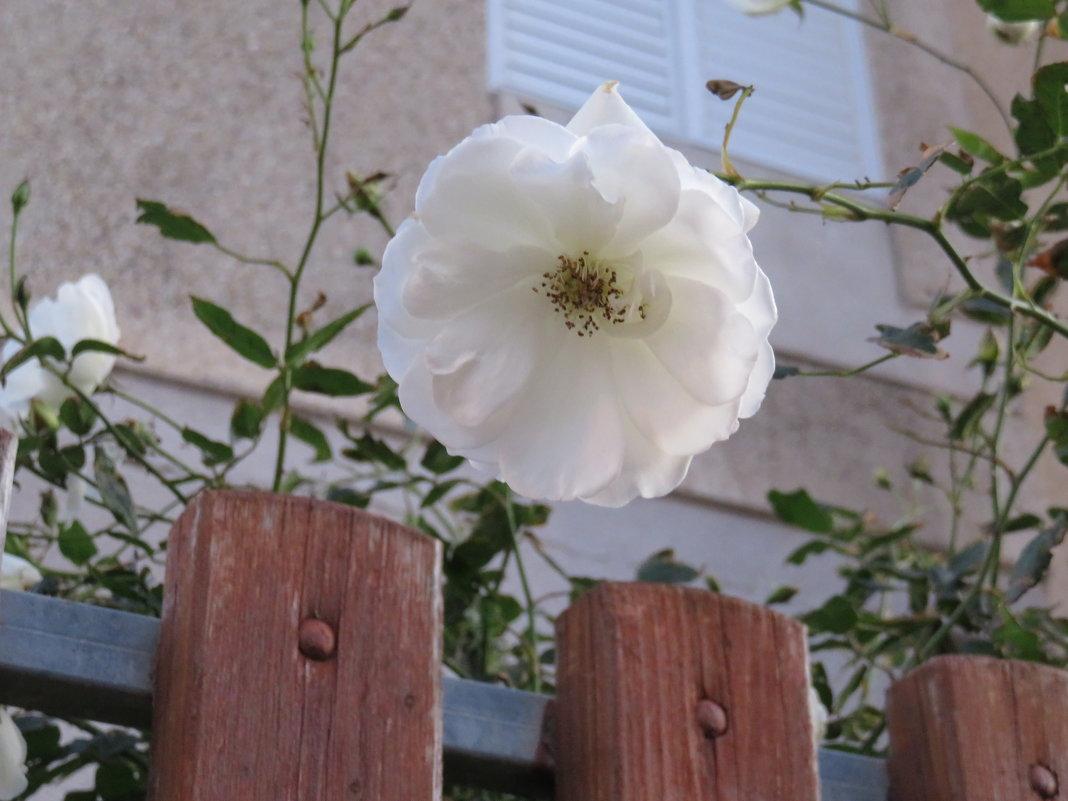 Январь. Белая роза - Герович Лилия