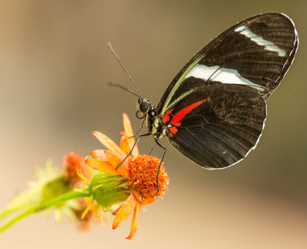 бабочка - Naum