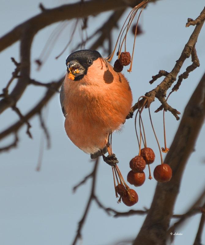 angry bird - cfysx