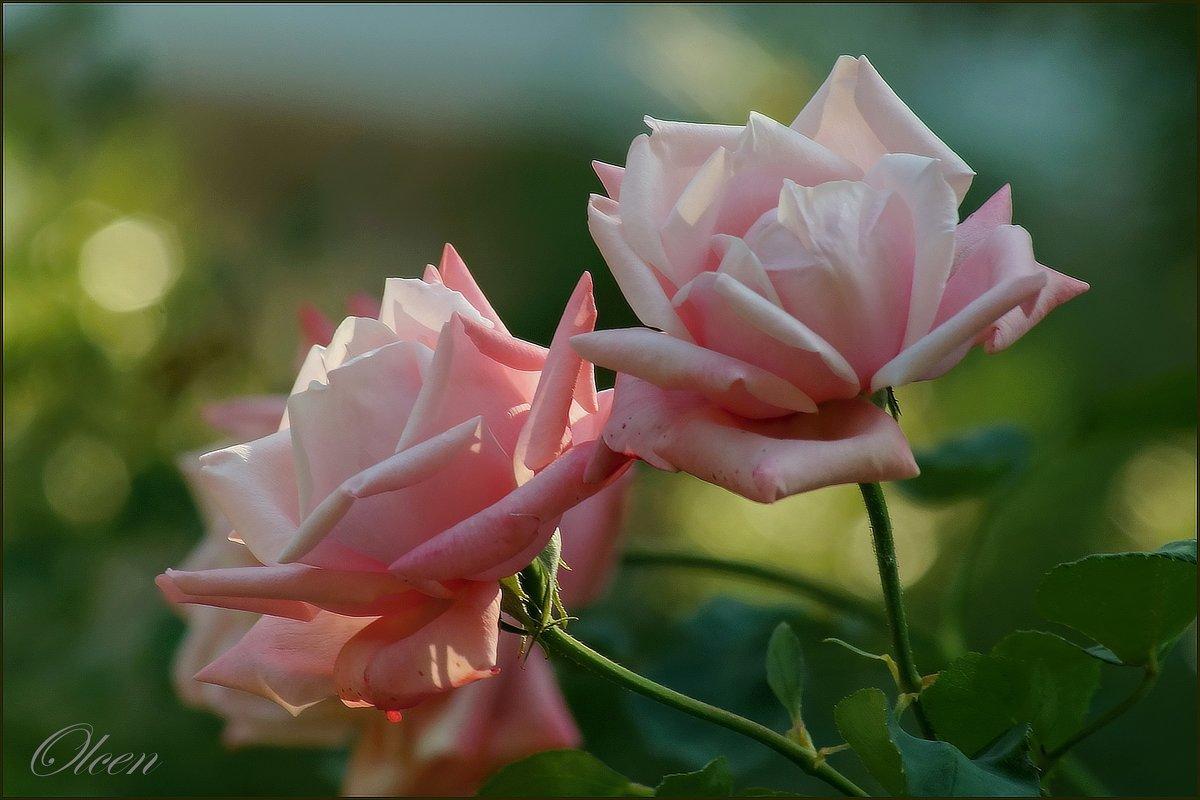 Розовые розы - Olcen Len