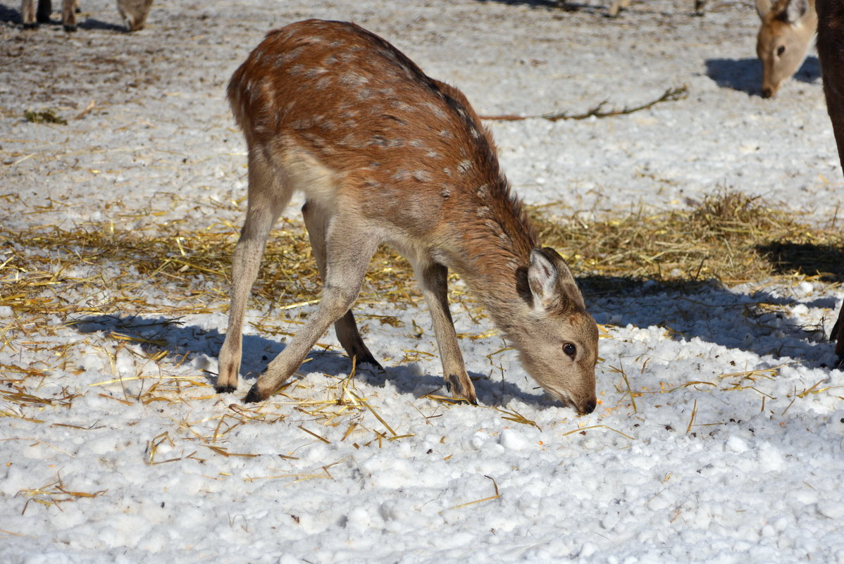 Малышка пятнистого оленя - Леонид Иванчук