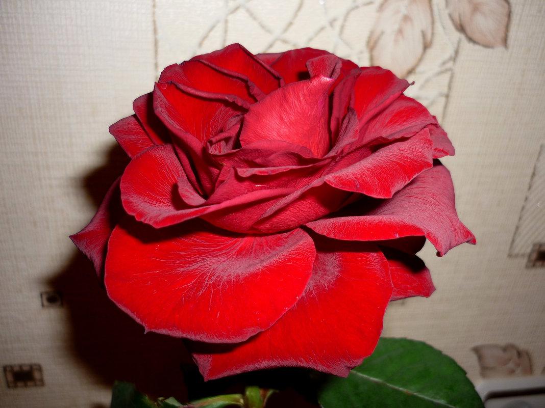 Роза - Алла ZALLA