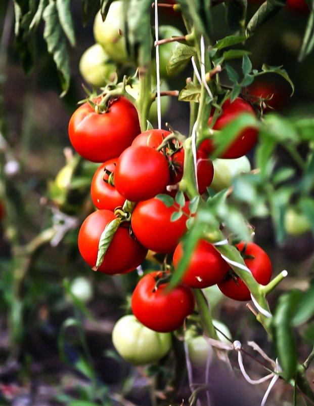 Крымский сорт томатов - Павел