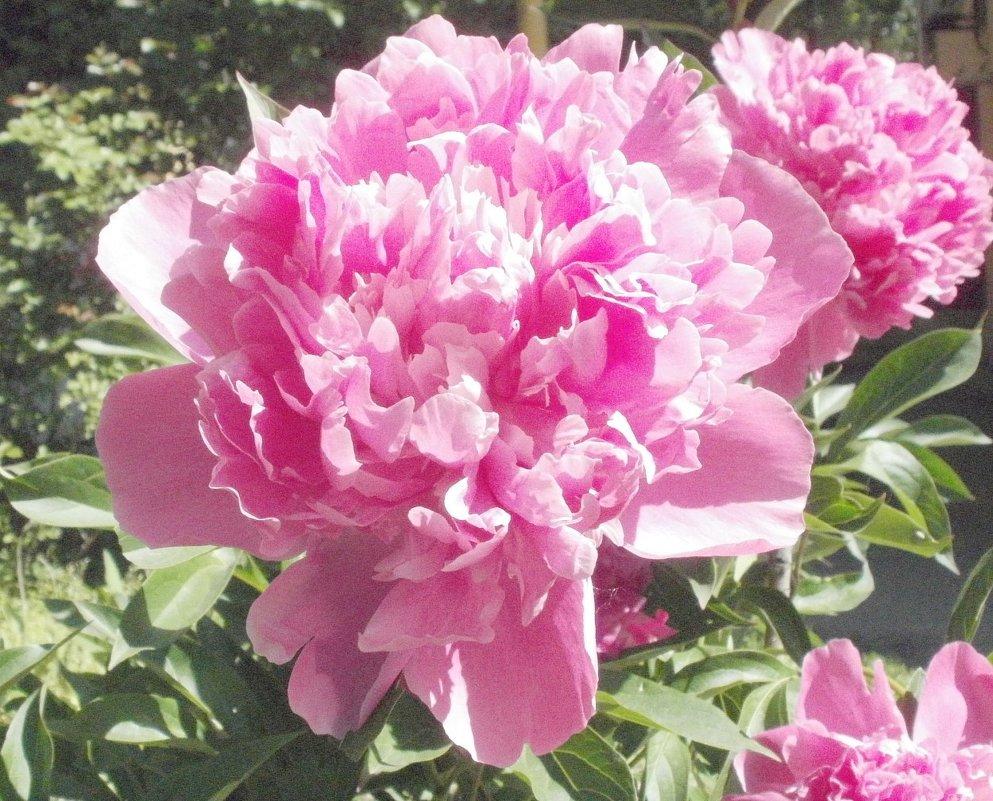 Розовый пион - Марина Чайкина