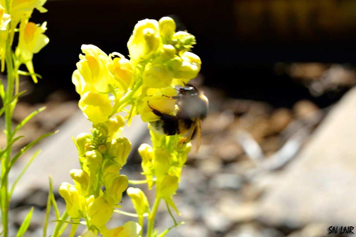 Эстафета цвета. Желтая среда - цветок и шмель - Наталья (ShadeNataly) Мельник