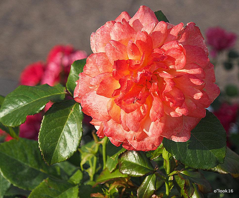 роза природная красота - Олег Лукьянов
