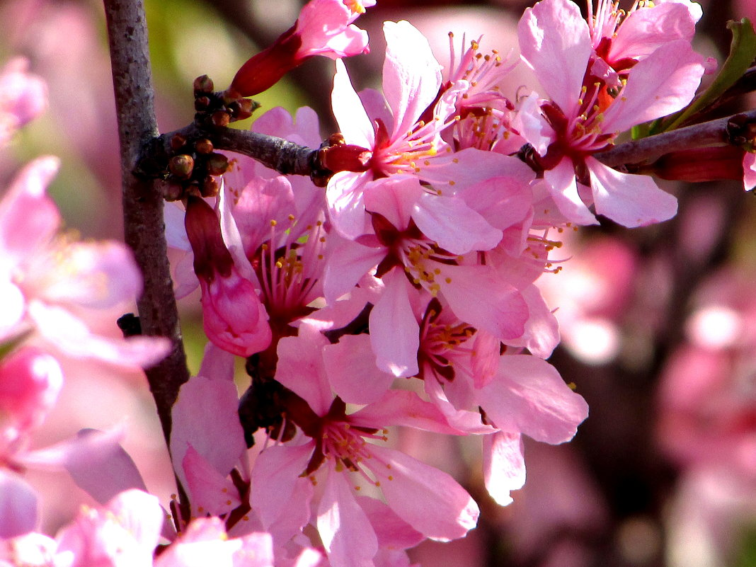 Цветёт миндаль - Светлана