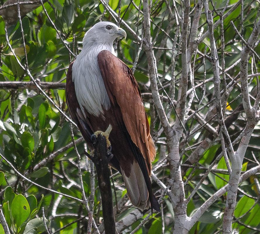 Красно-коричневый орёл - символ острова Лангкави, Малайзия. - Edward J.Berelet