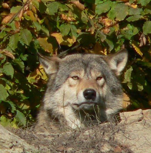 Портрет волка - vitper per