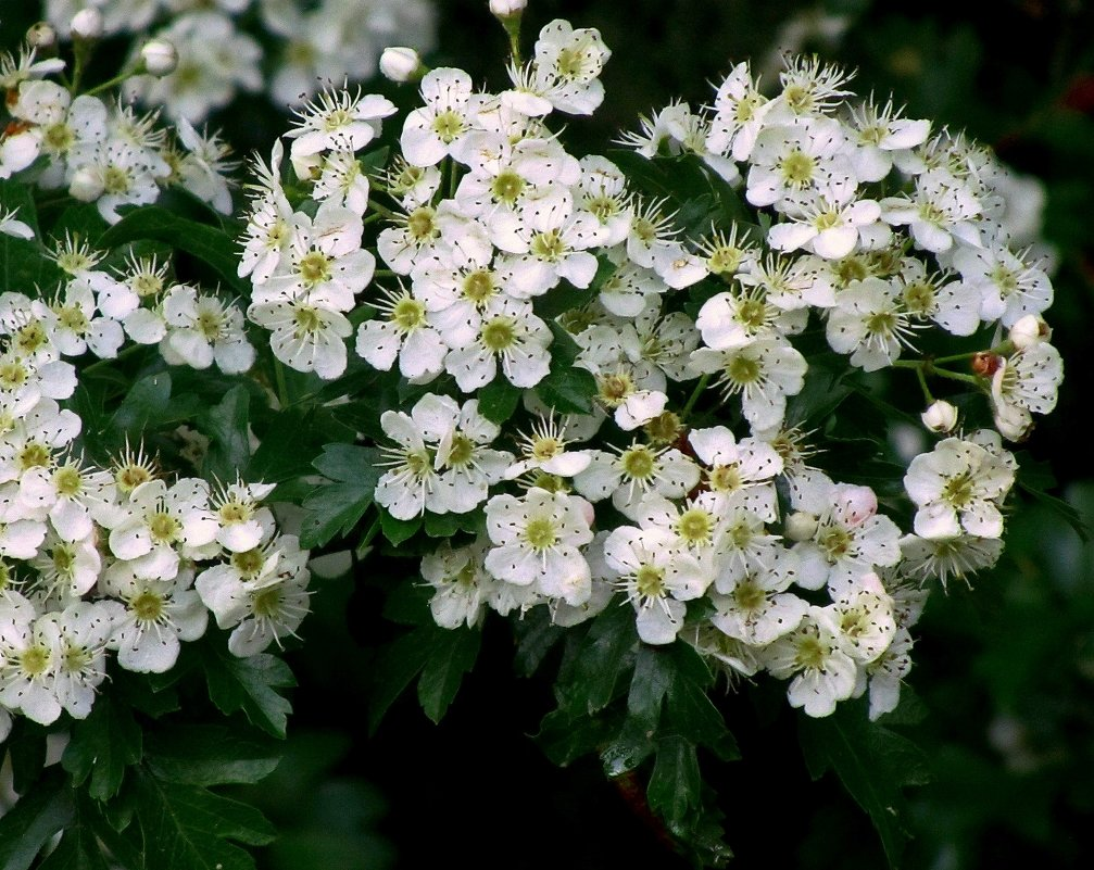 Цветы боярышника - Сергей Карачин
