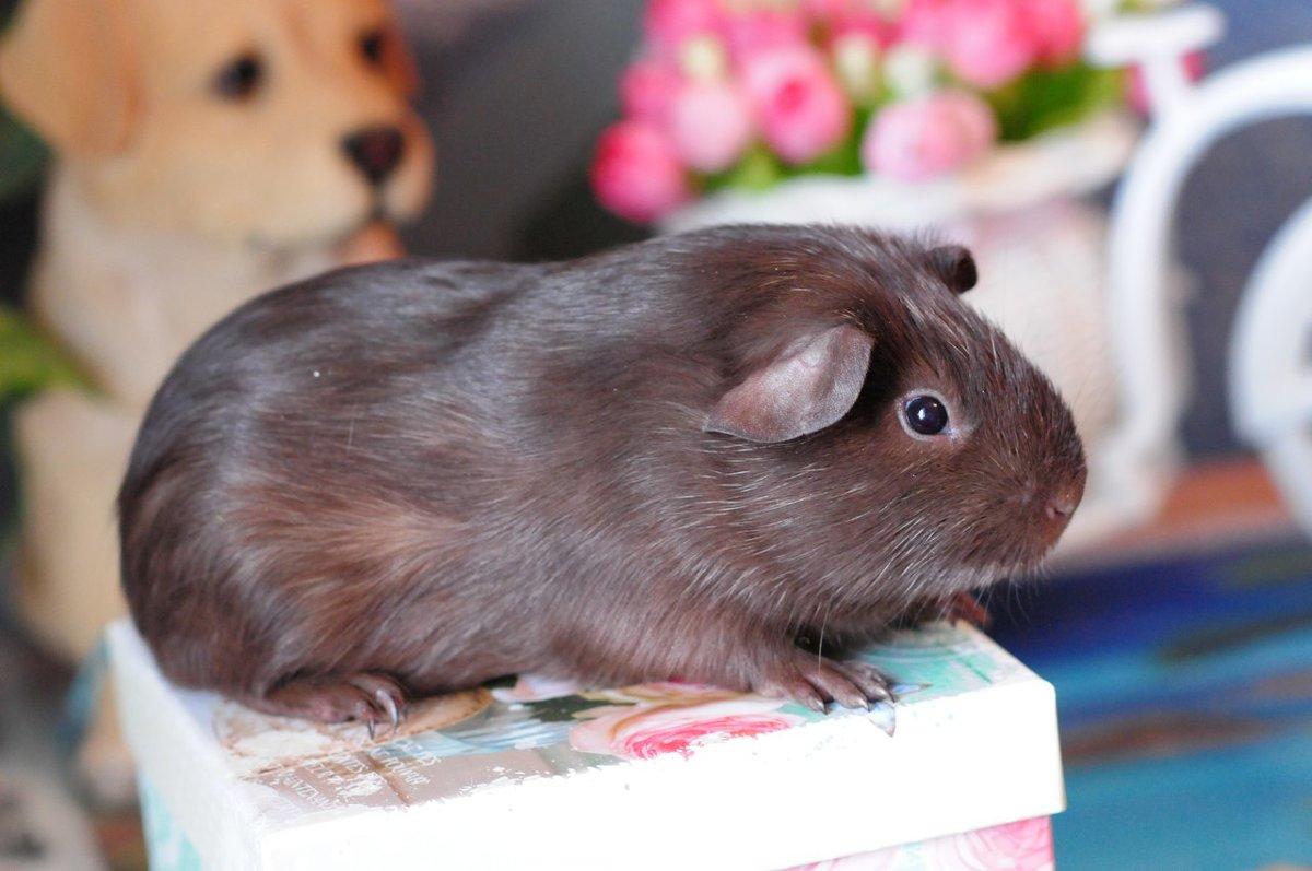 Свинку можно пускать гулять по квартире или в саду.