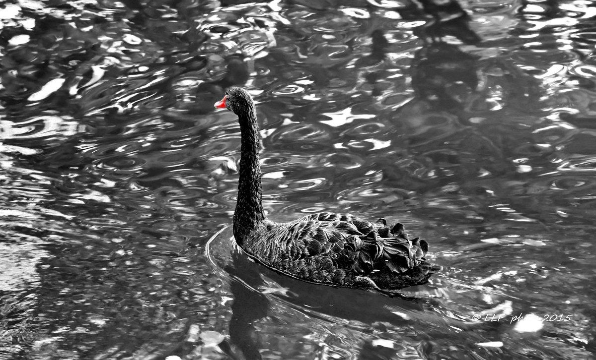 Чёрный лебедь - Liudmila LLF