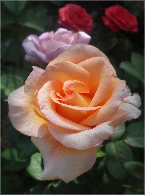 Розы - Эля Юрасова