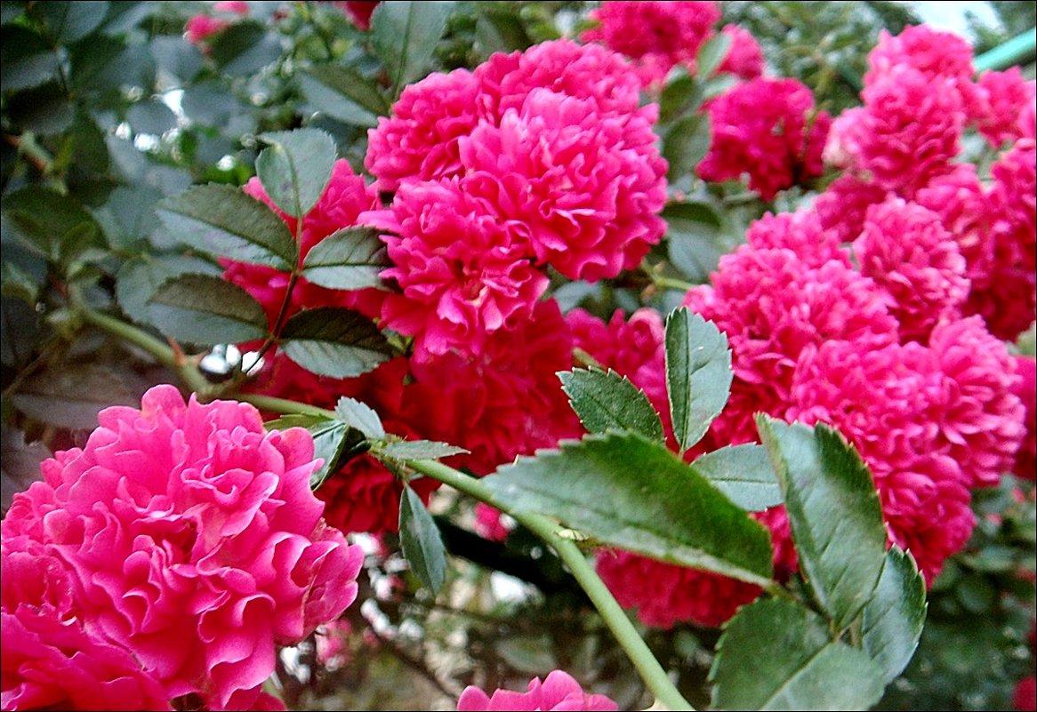 Розовый салют - Нина Корешкова