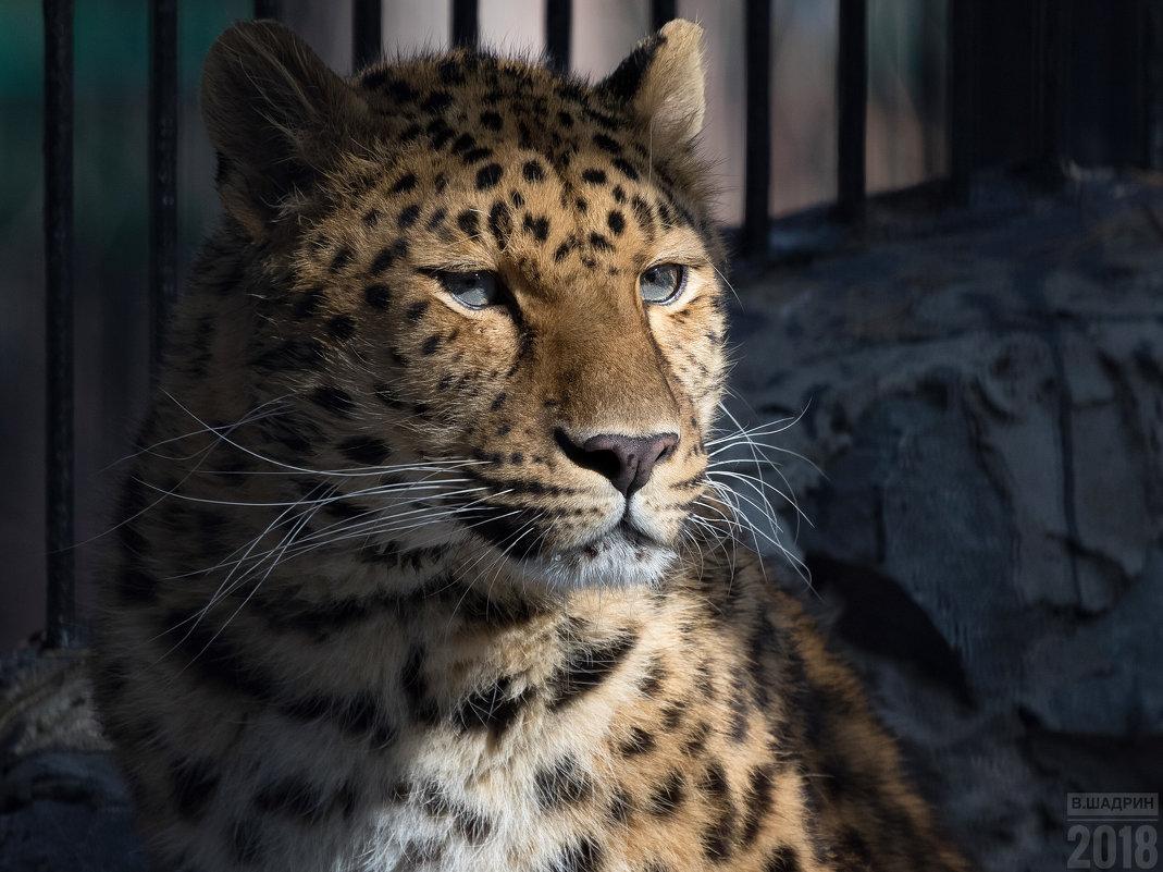 Леопард - Владимир Шадрин