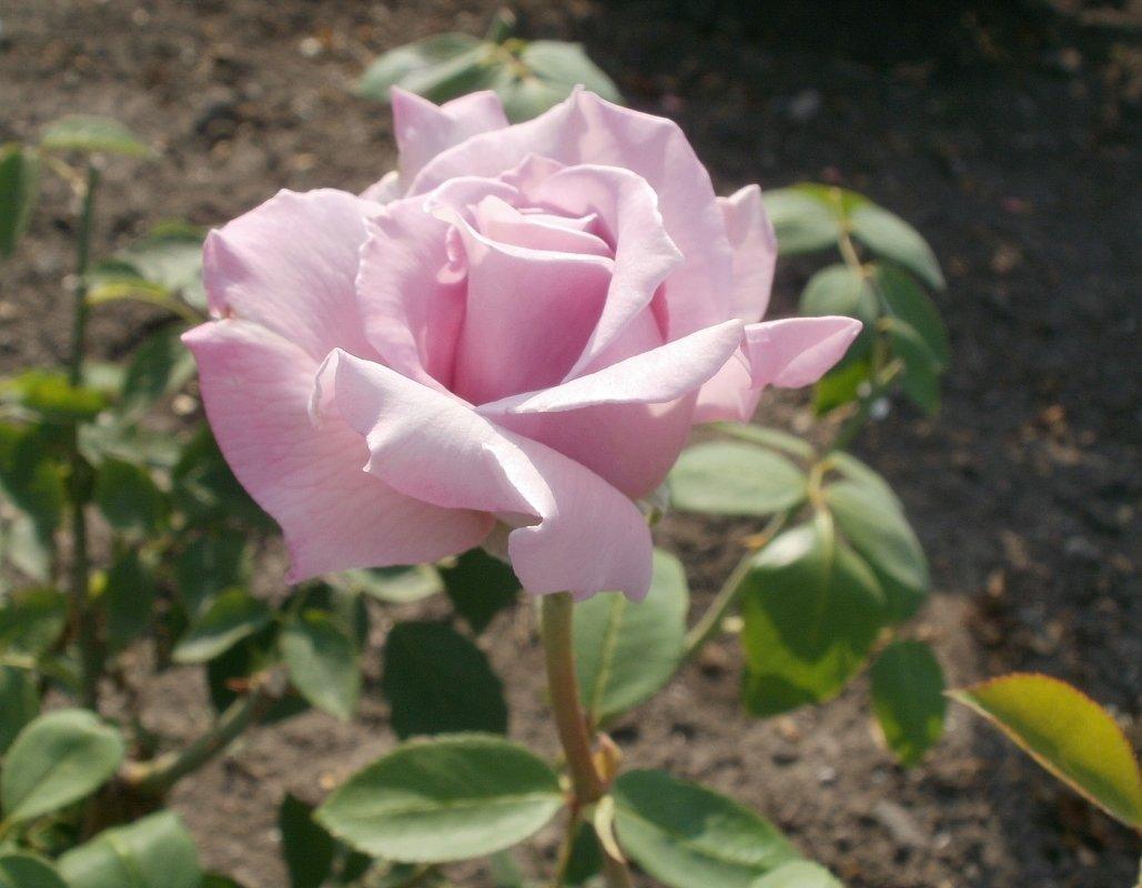 Сиреневая роза - Марина Чайкина