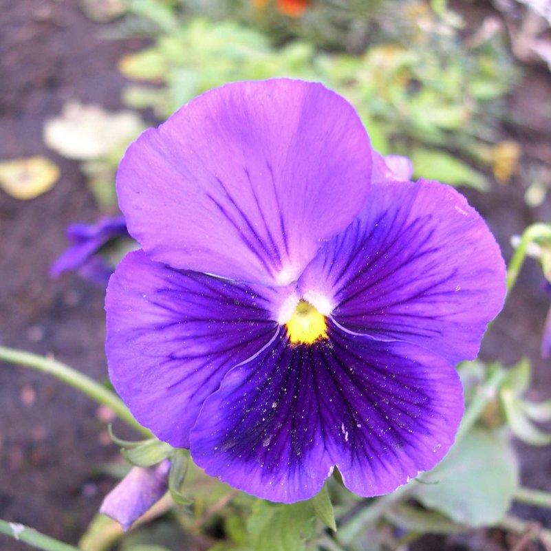 Viola tricolor 19 - Андрей Lactarius