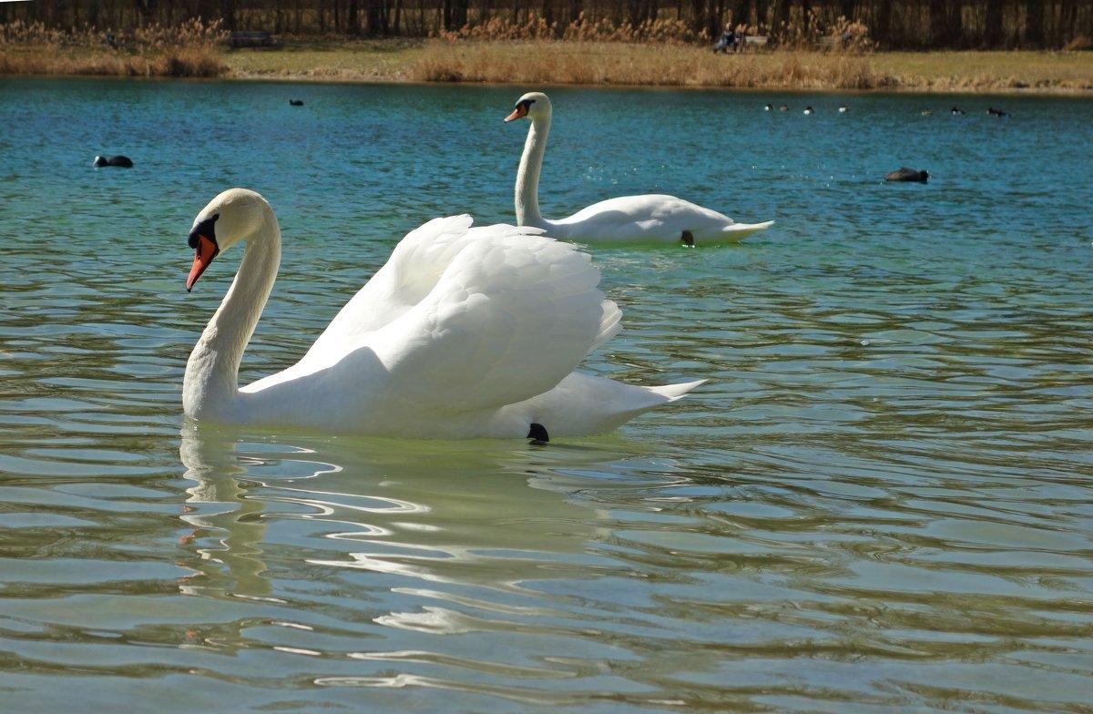 Белые лебеди - птицы прекрасные!... - Galina Dzubina