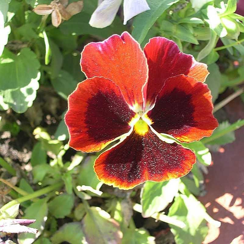 Viola tricolor 22 - Андрей Lactarius