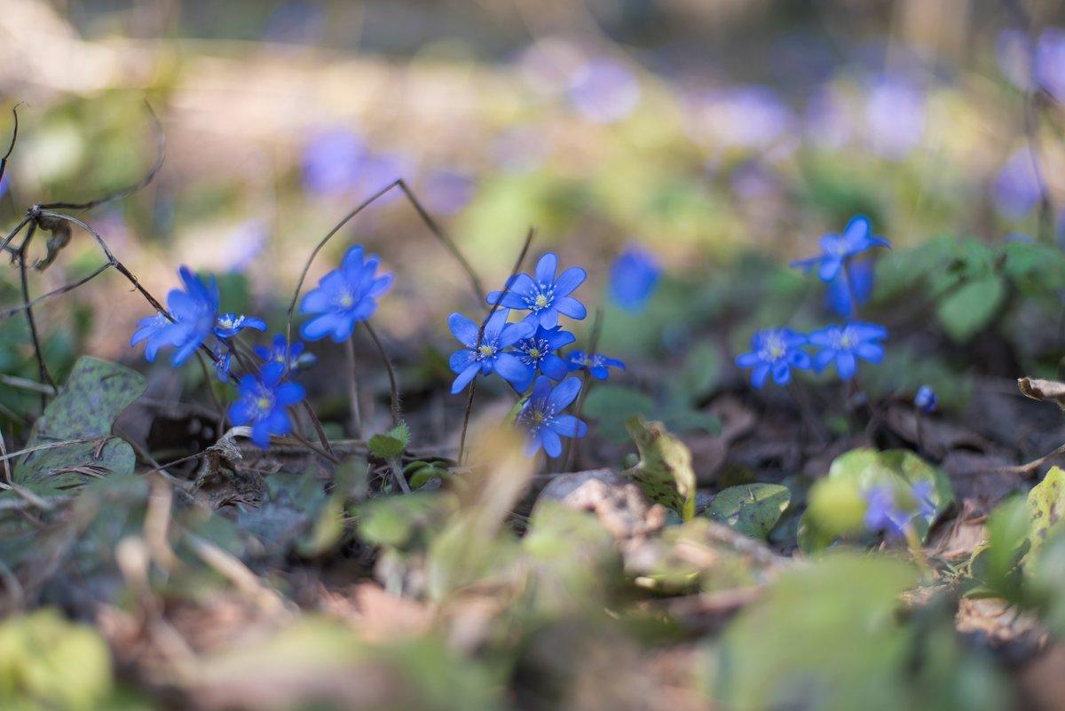 Весенние цветы-печёночницы. - Виктор Евстратов